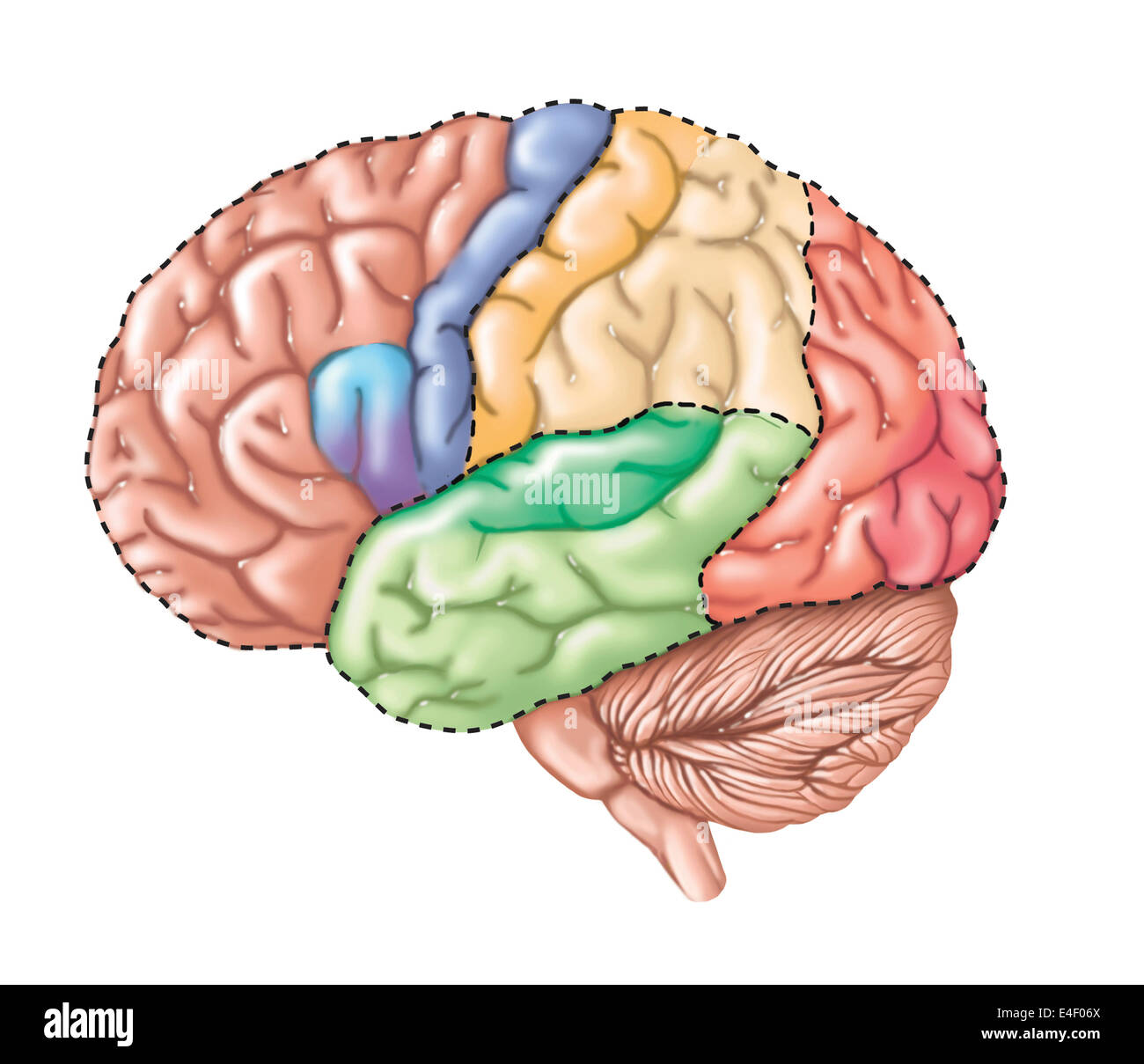 Side View Of The Human Brain Showing The Functional Lobes