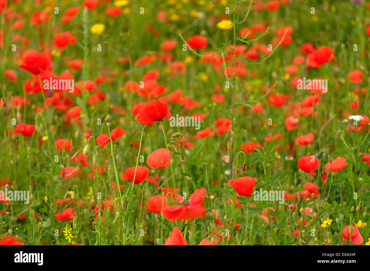 Roadside Wild Flowers Poppy Stock Photos   Roadside Wild Flowers     Meadow flowers  Poppies   Buttercups   Stock Image