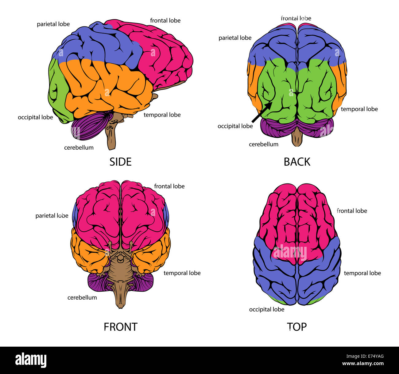 Human Brain Side Diagram Stock Photos Amp Human Brain Side