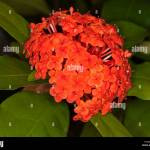 Cluster Of Vivid Red Flowers Of Ixora Prince Of Orange A Stock Photo Alamy