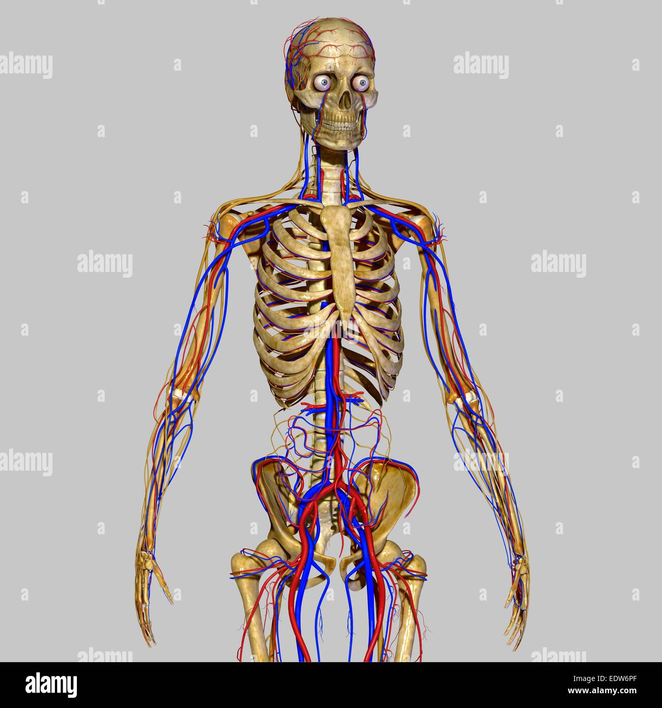 Skeleton With Nervous System Stock Photo