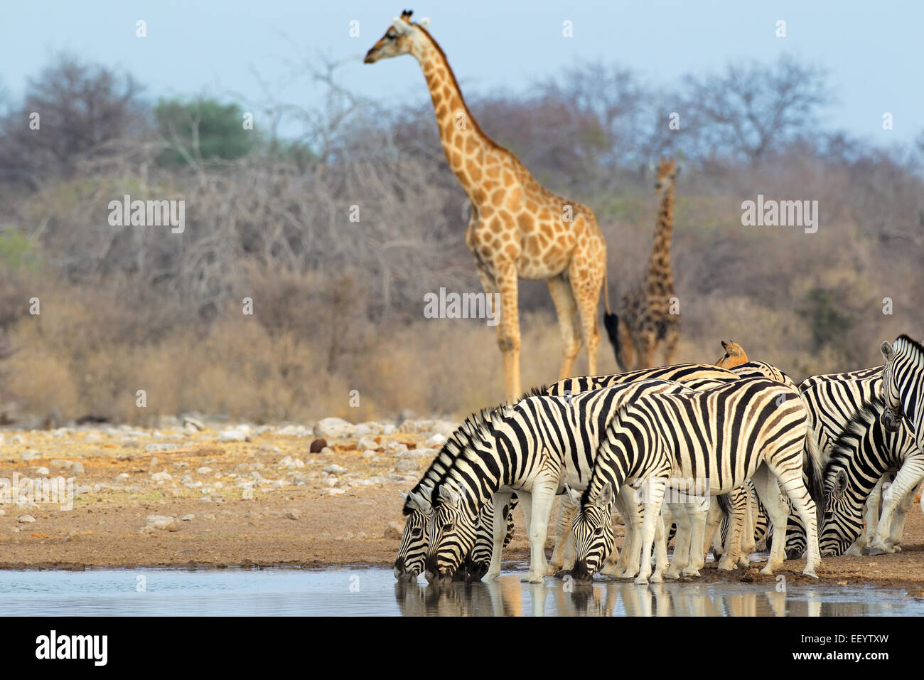 Giraffe Zebras Safari Stock Photos Amp Giraffe Zebras Safari