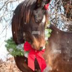 Very Cute Dark Bay Arabian Horse Wearing A Christmas Wreath Around Stock Photo Alamy