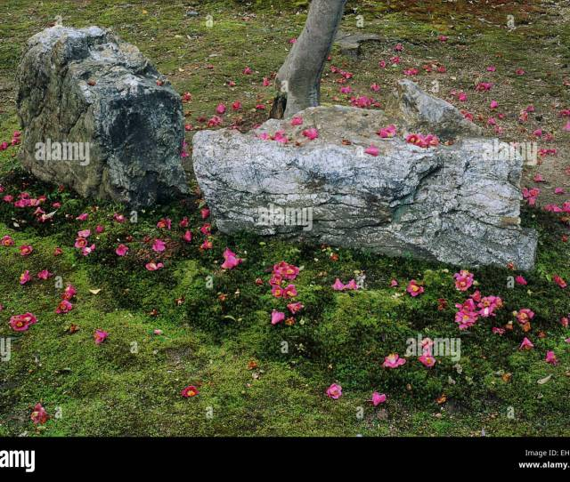 Camellia Blossoms Fall In A Random Pattern On A Mossy Field Beside A Stone And Create A Very Zen Like Atmosphere