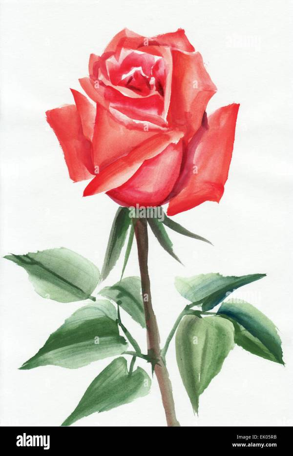 Red rose original watercolor painting on white background