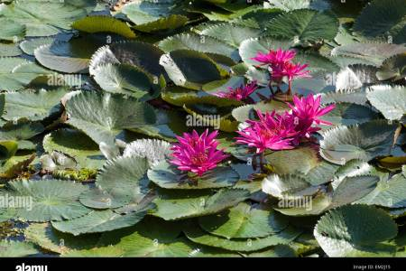Lotus flower family beautiful flowers 2019 beautiful flowers pink lotus flower meaning and symbolism mythologian net the pink lotus does not grow everywhere it was unknown to the ancient egyptians who did have white mightylinksfo