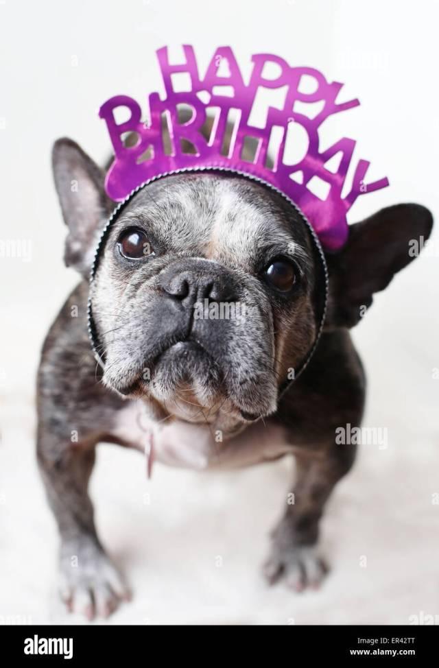 a sweet old french bulldog wearing a happy birthday tiara stock