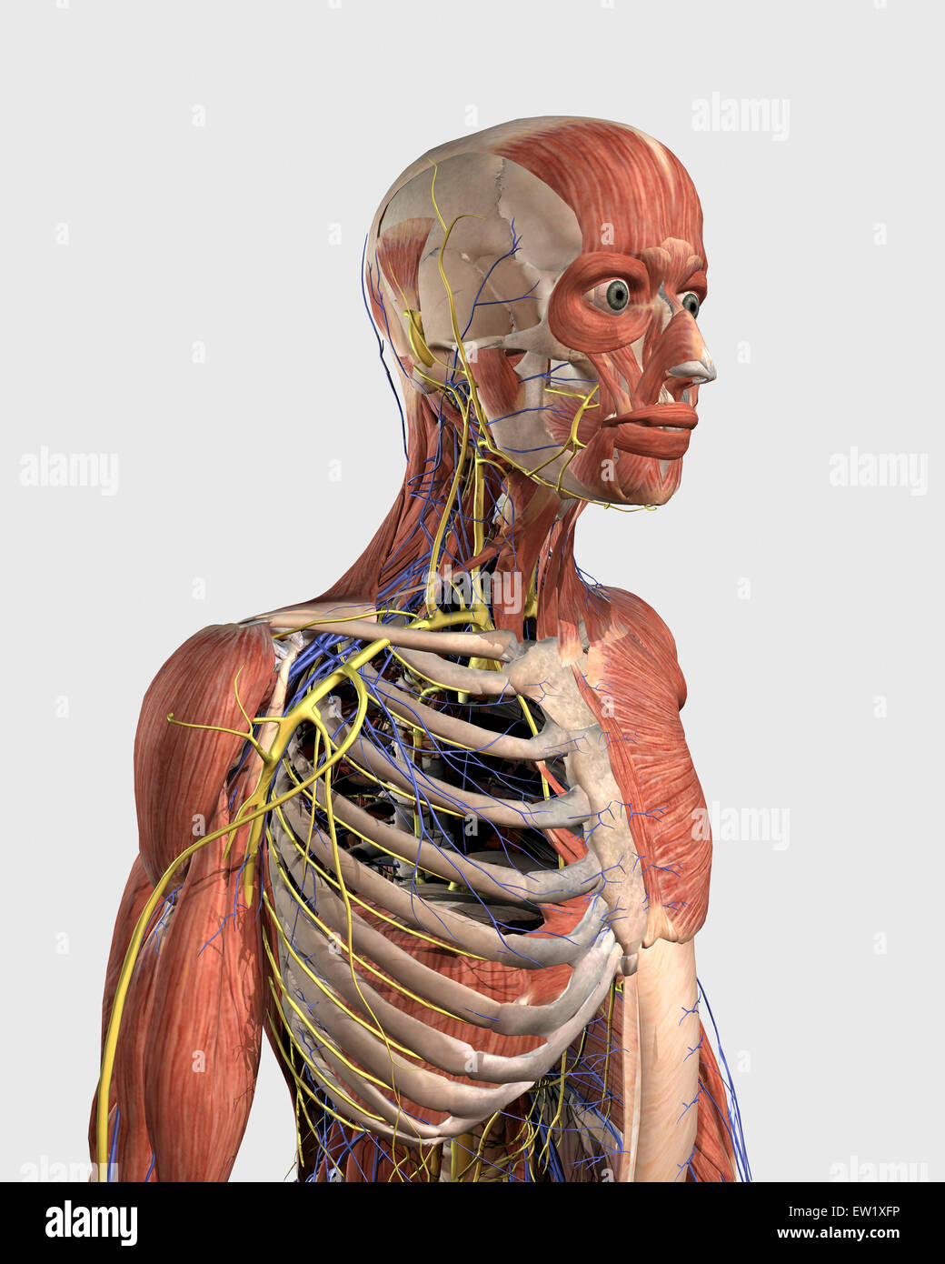 Human Upper Body Showing Muscle Parts Axial Skeleton