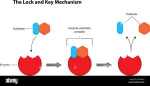 Lock and Key Mechanism of Enzymes Labeled Illustration
