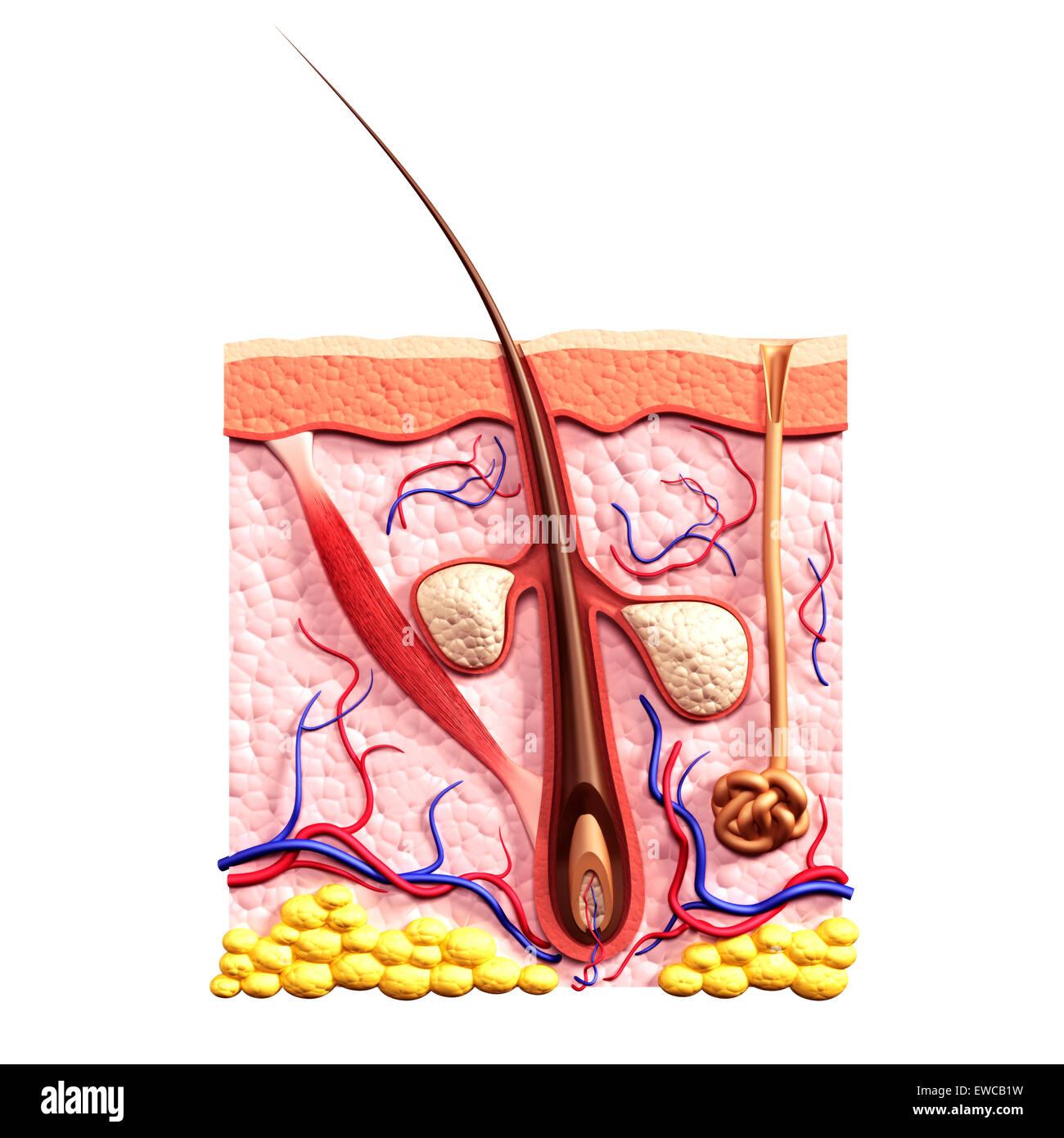 Cross Section Of Skin Showing Hair Follicle Sebaceous Glands Sweat Stock Photo