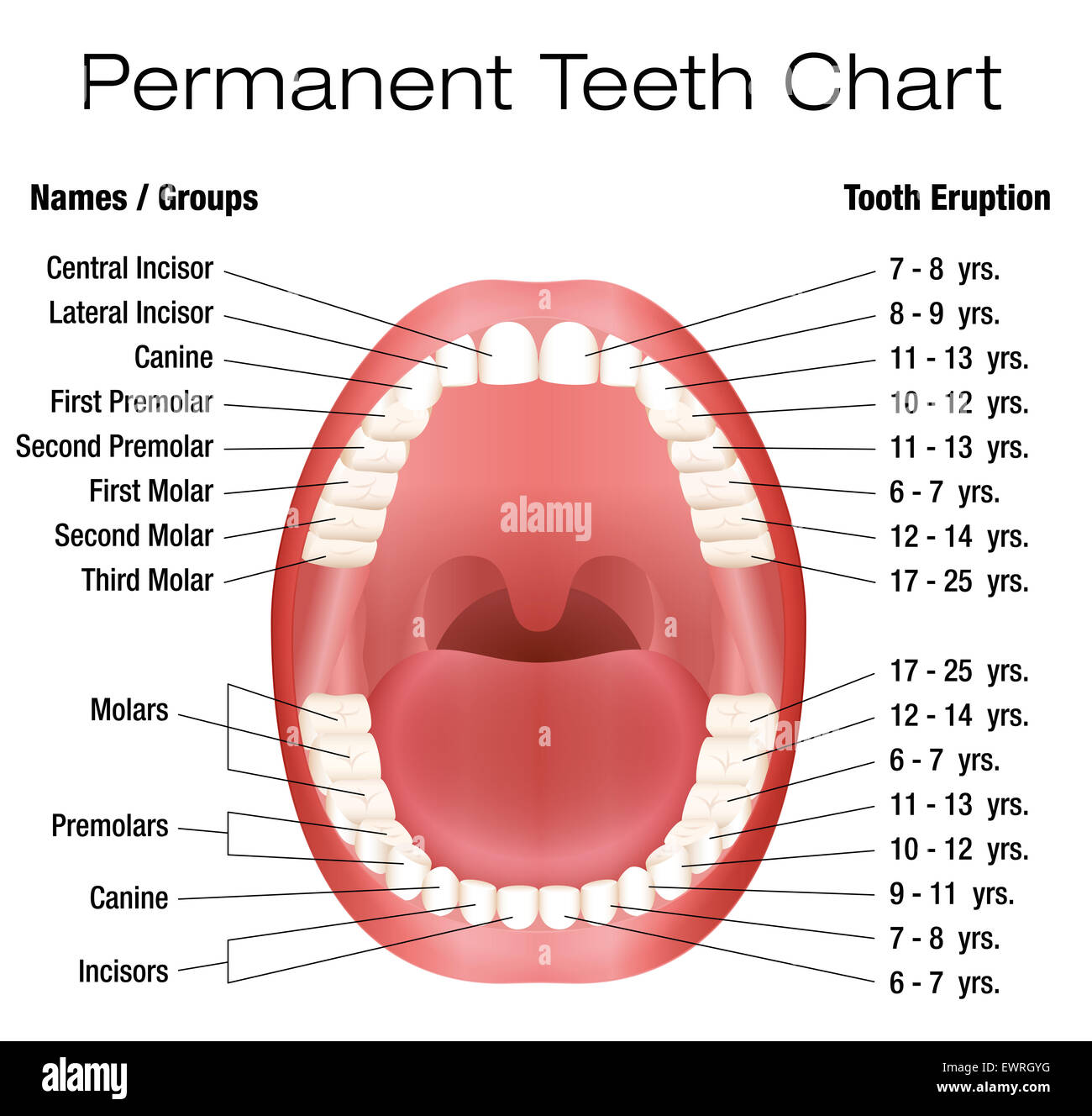 Teeth Names And Permanent Teeth Eruption Chart With