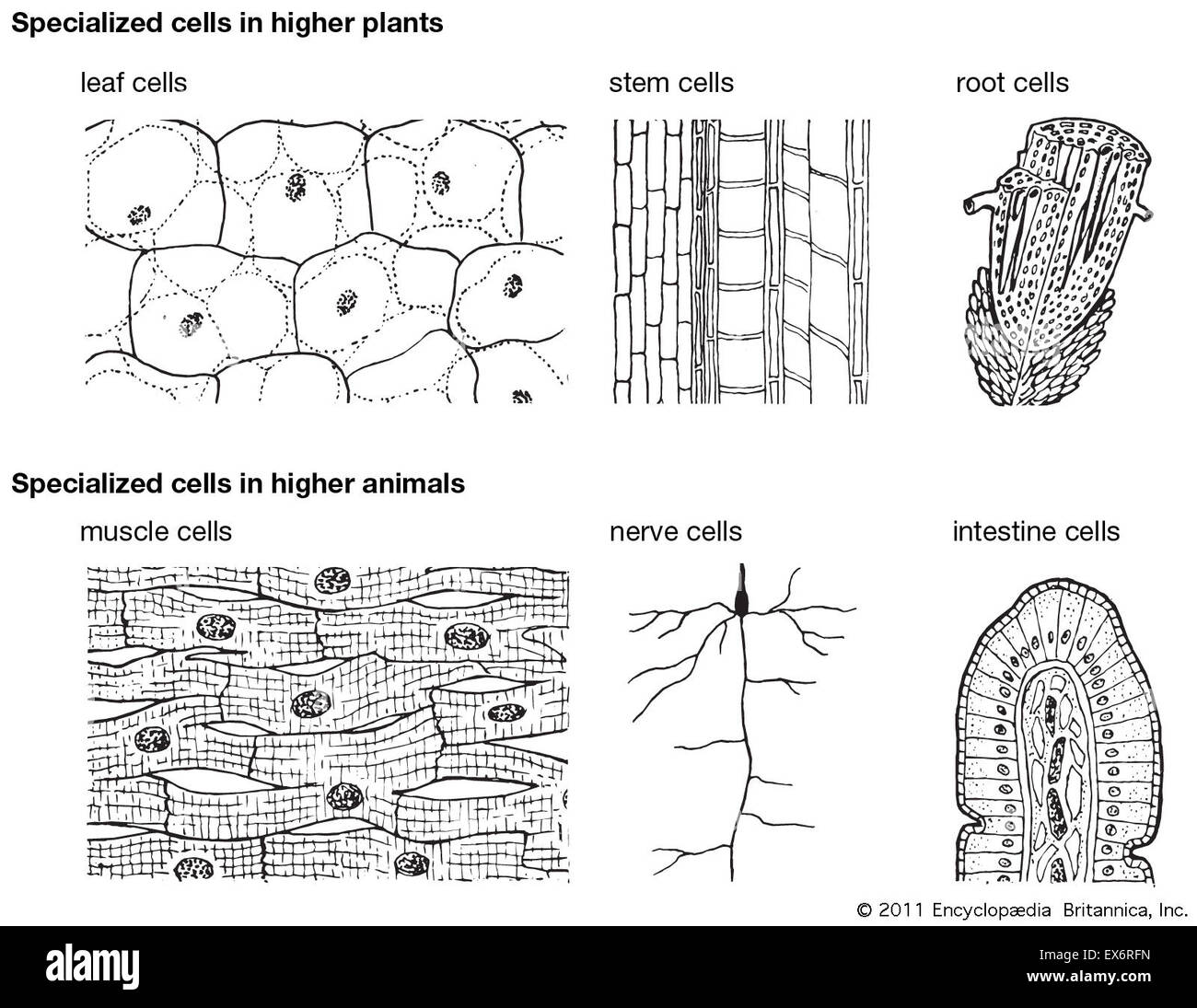 Specialized Cells In Higher Plants And Animals Stock Photo