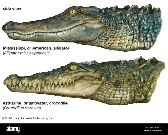 Image result for Photos Comparing Alligators and Crocodiles