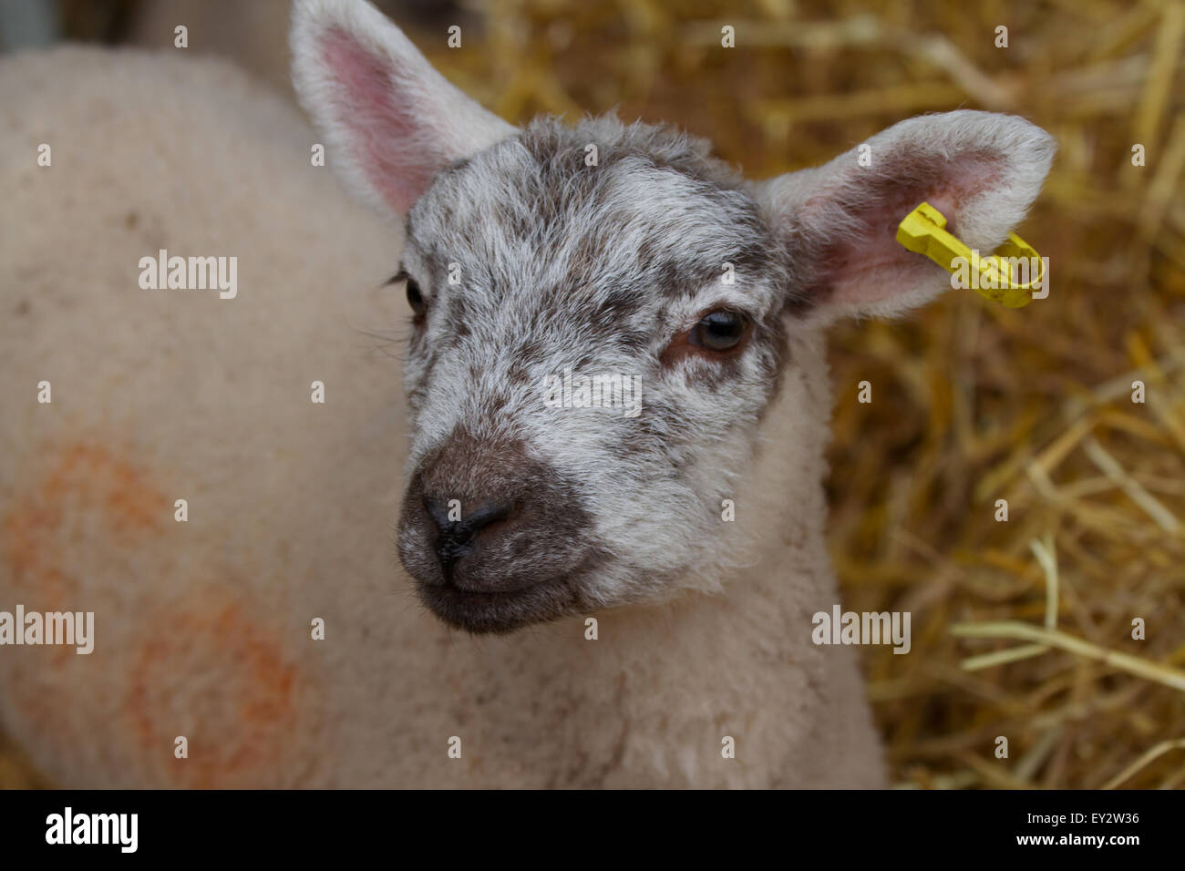 Lamb With Ear Tag Uk Stock Photo
