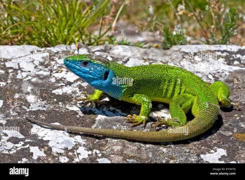 Eastern Green Lizard, European green lizard, Emerald lizard ...