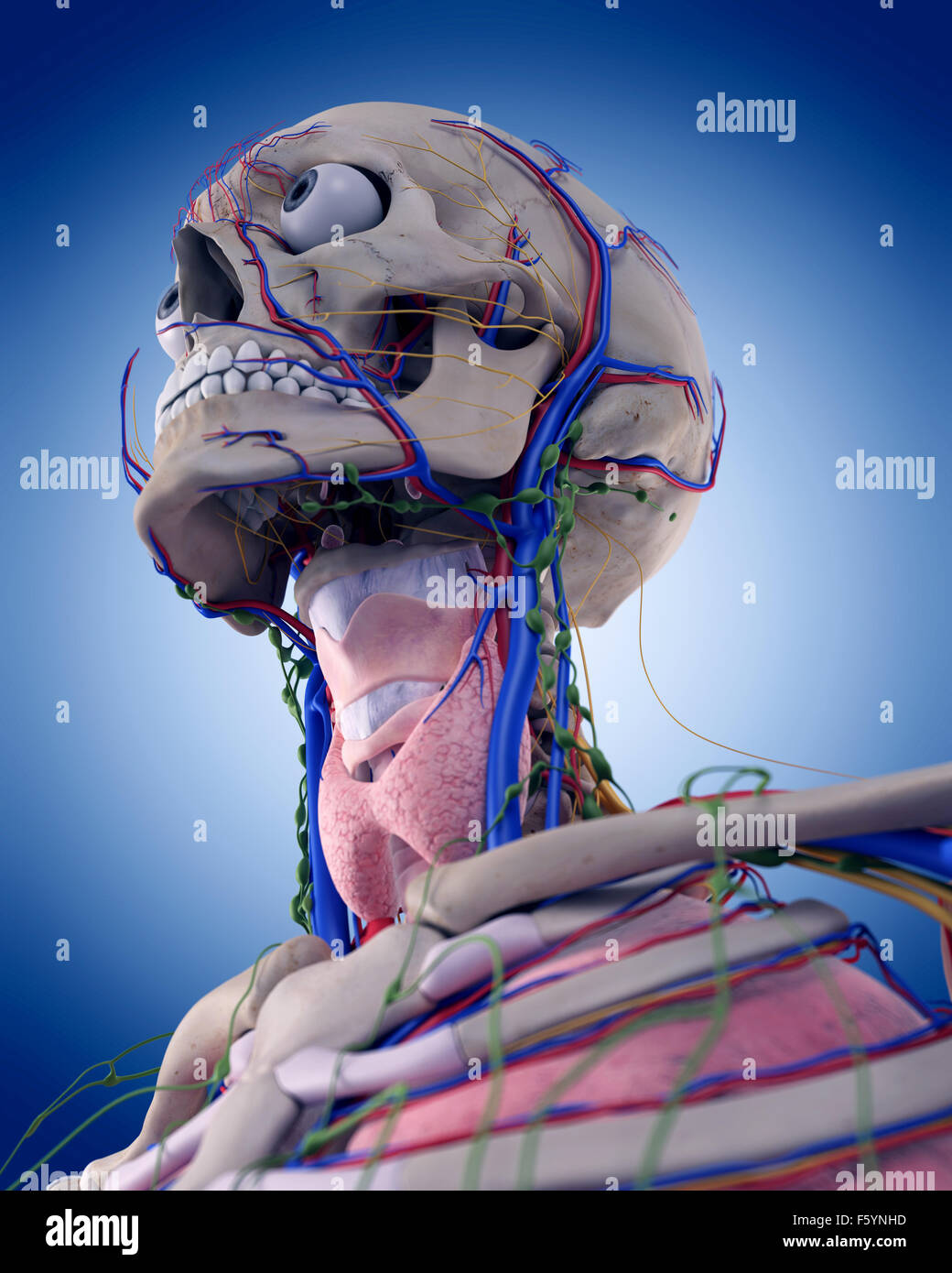 Brachial Artery Stock Photos Amp Brachial Artery Stock