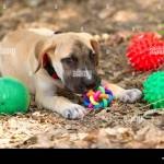 Dog Toys Is A Cute Puppy Dog Playing With His Toys Nuzzling His Most Stock Photo Alamy