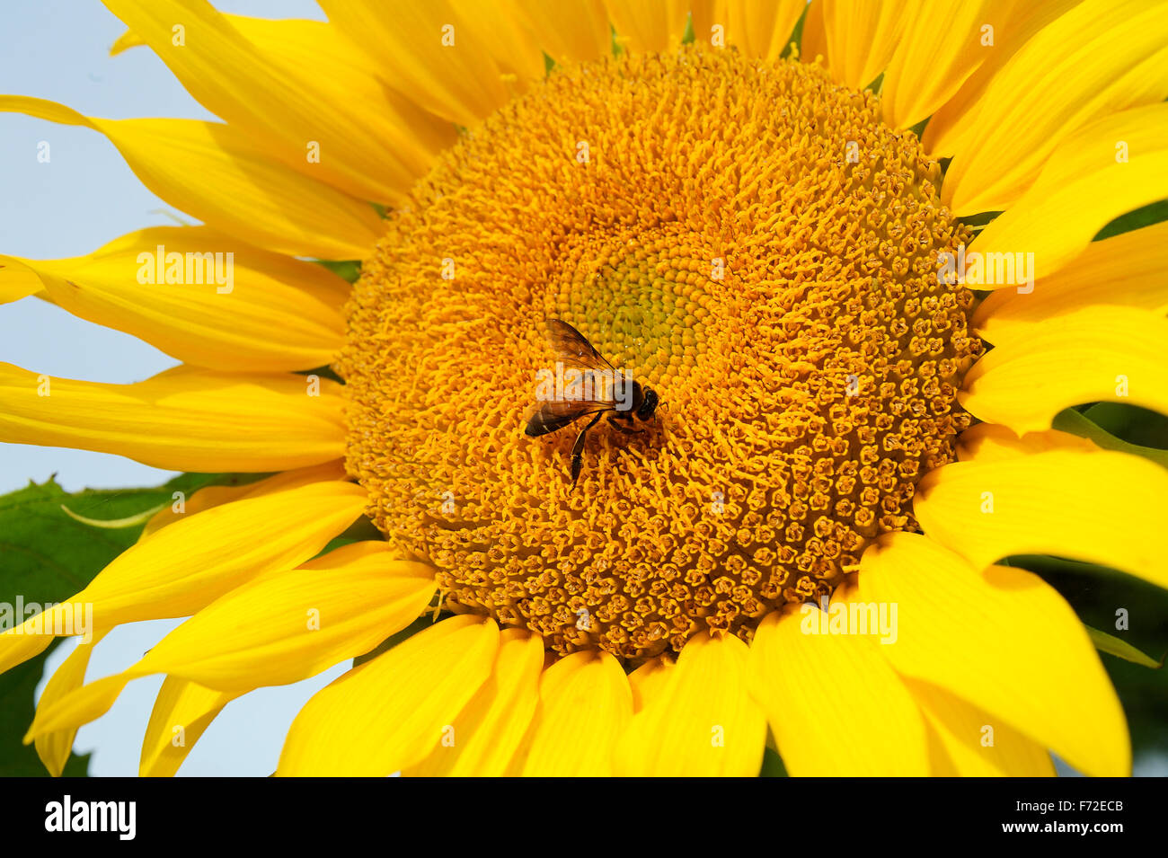 Pollen Flowers Honeybee India Stock Photos   Pollen Flowers Honeybee     Bumble bee on sunflower  gundlupet  karnataka  india  asia   Stock Image