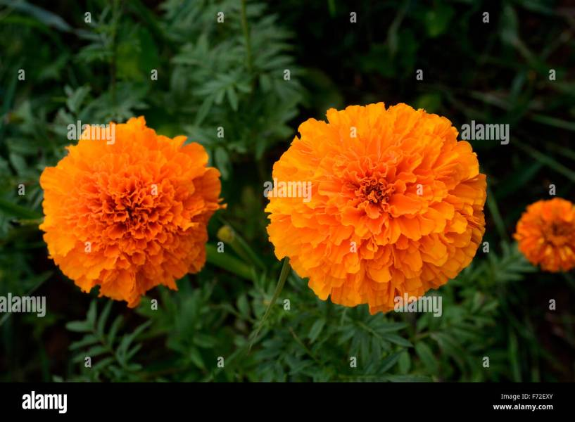 Marigold Flowers Indian Asian Stock Photos   Marigold Flowers Indian     Marigold flowers  gundlupet  karnataka  india  asia   Stock Image