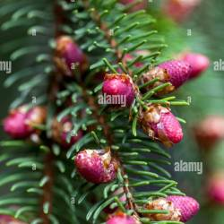 Norway Spruce Flowers Gardening Flower And Vegetables