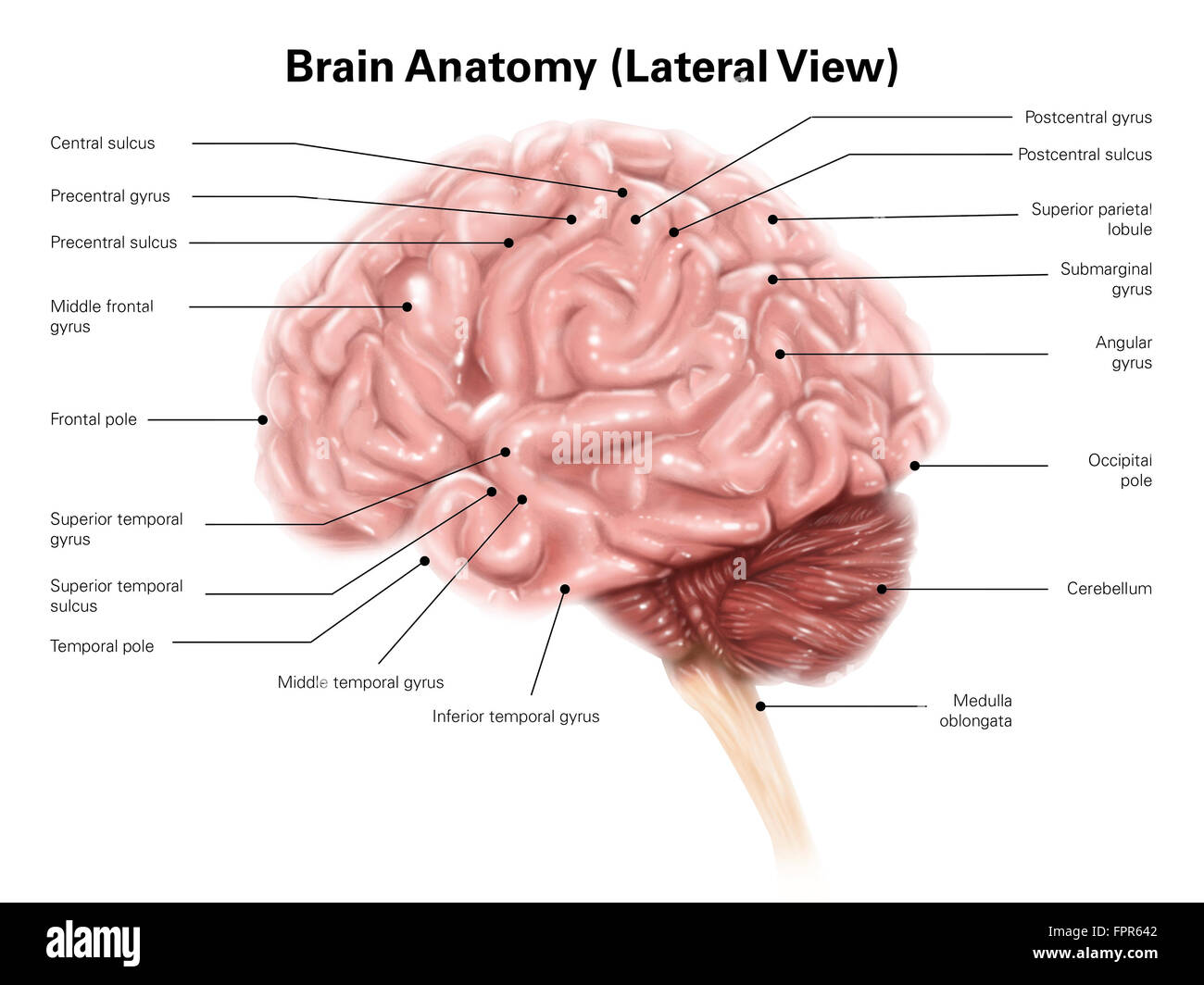 Lateral Brain Stock Photos Amp Lateral Brain Stock Images