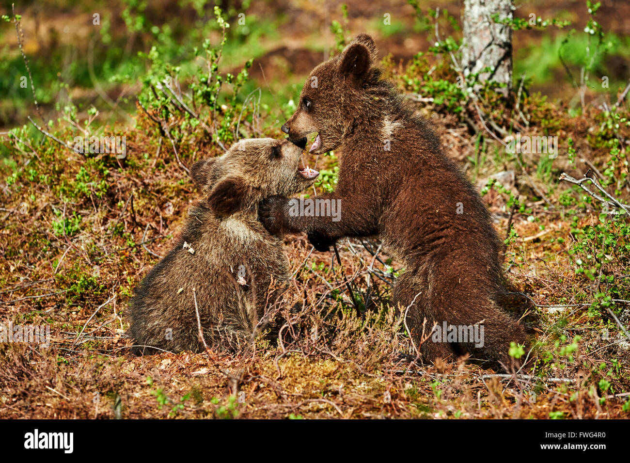 Country living editors select each product featured. Two Cute Brown Bear Cubs Play In The Taiga Of Finland Stock Photo Alamy
