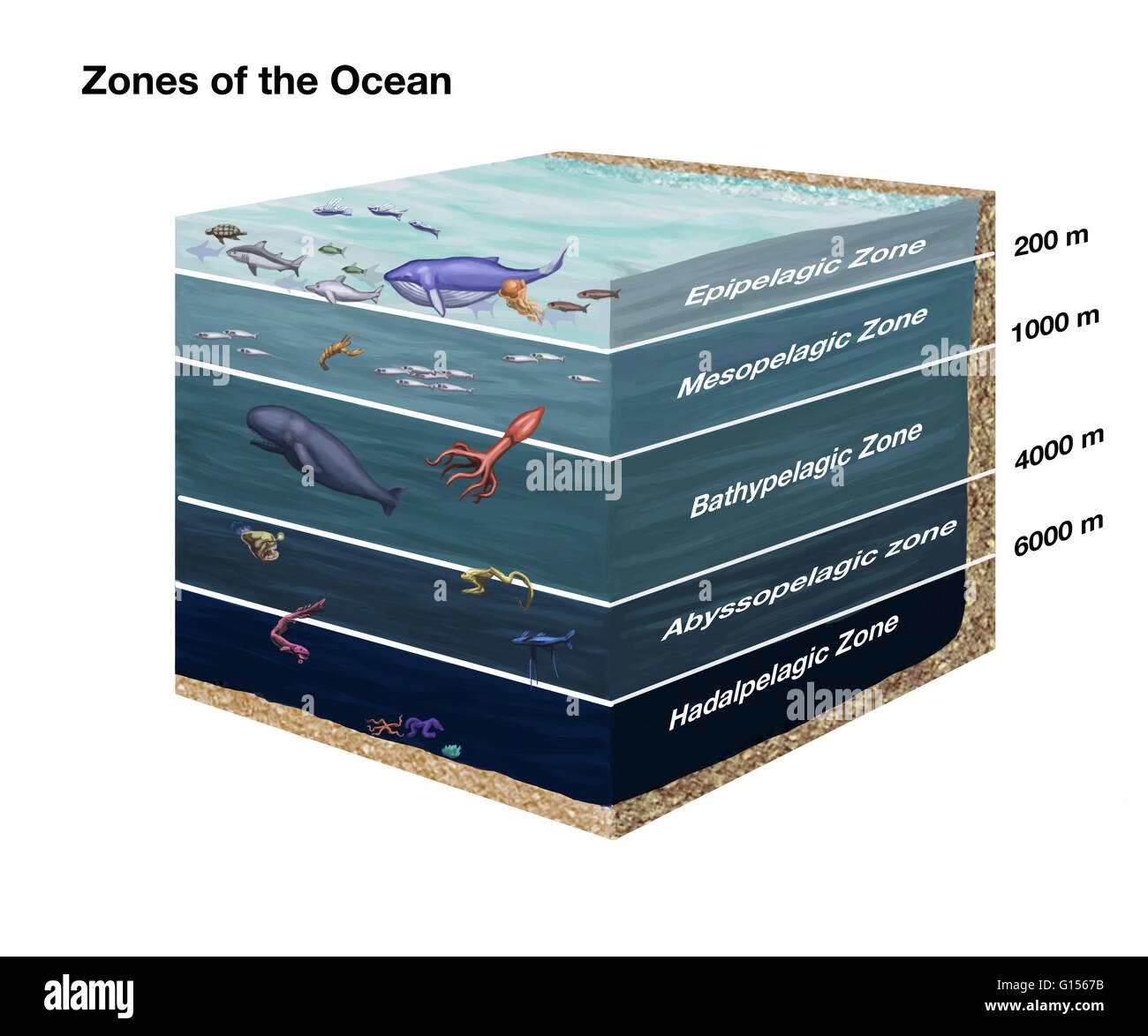 Cross Sectional Diagram Showing Zones Of The Ocean From