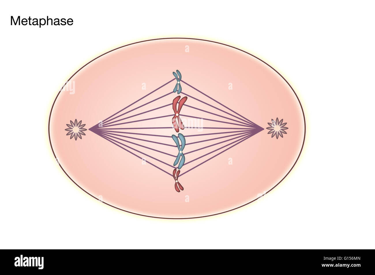 Diagram of Metaphase of Mitosis in an animal cell Stock Photo     Diagram of Metaphase of Mitosis in an animal cell