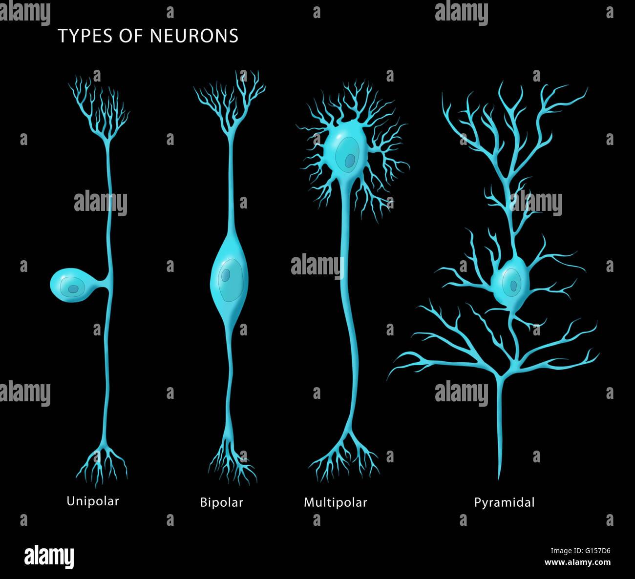 Unipolar Neuron Stock Photos Amp Unipolar Neuron Stock