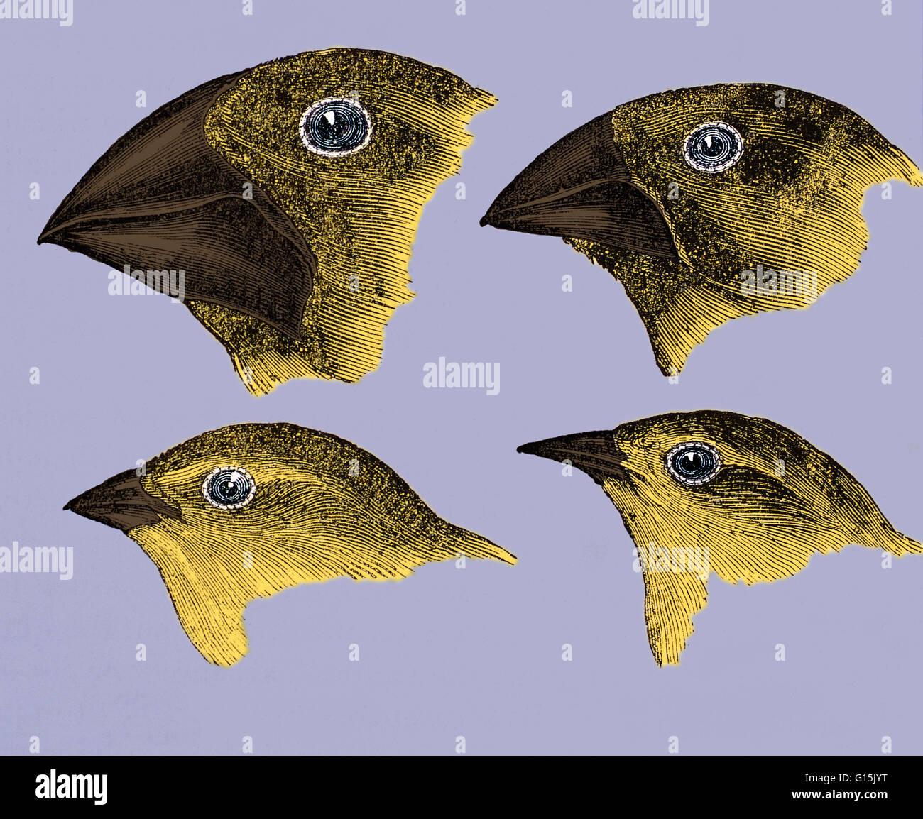 Charles Darwin Finches Stock Photos Amp Charles Darwin