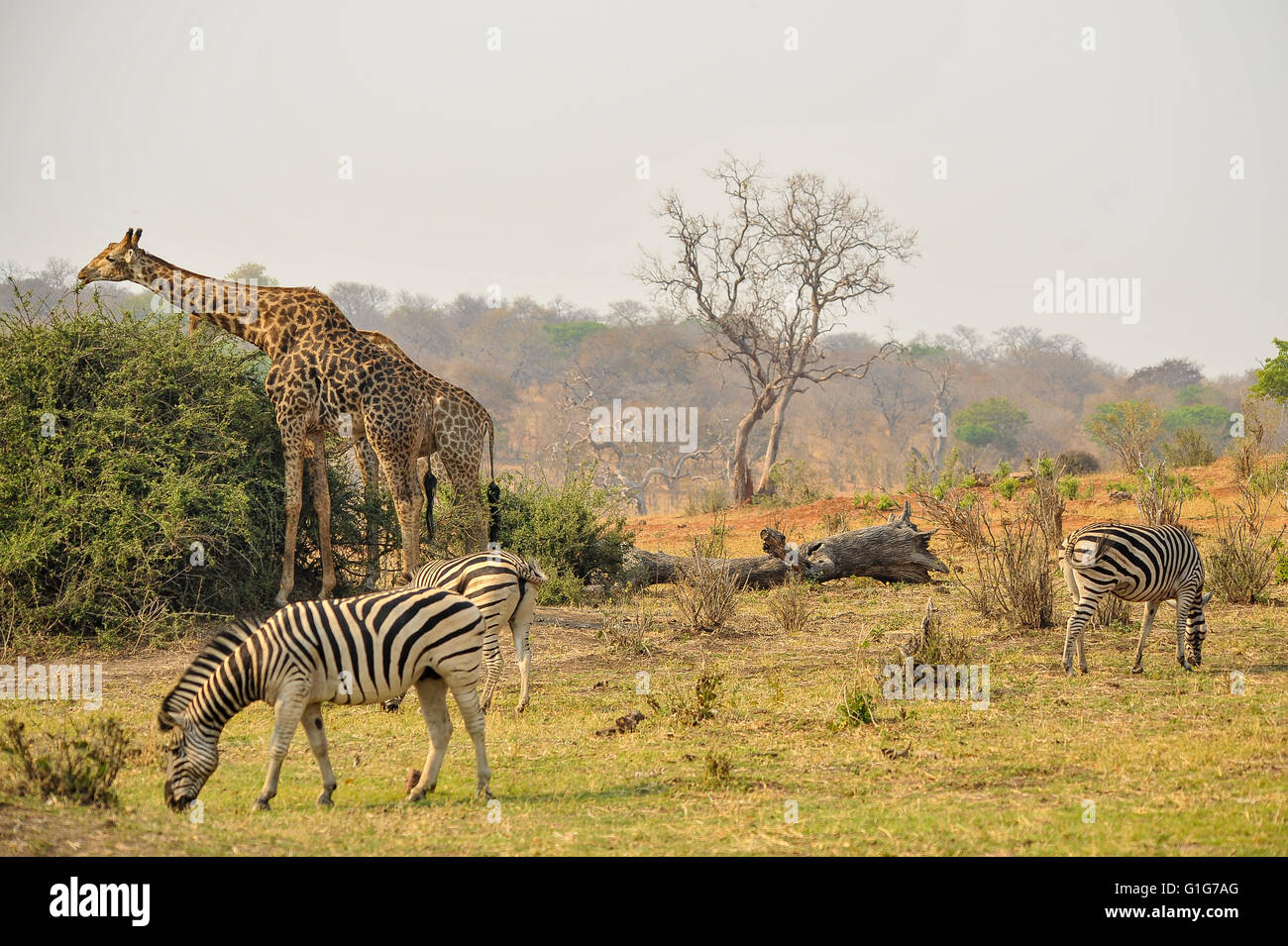Savannah Grazers And Browsers