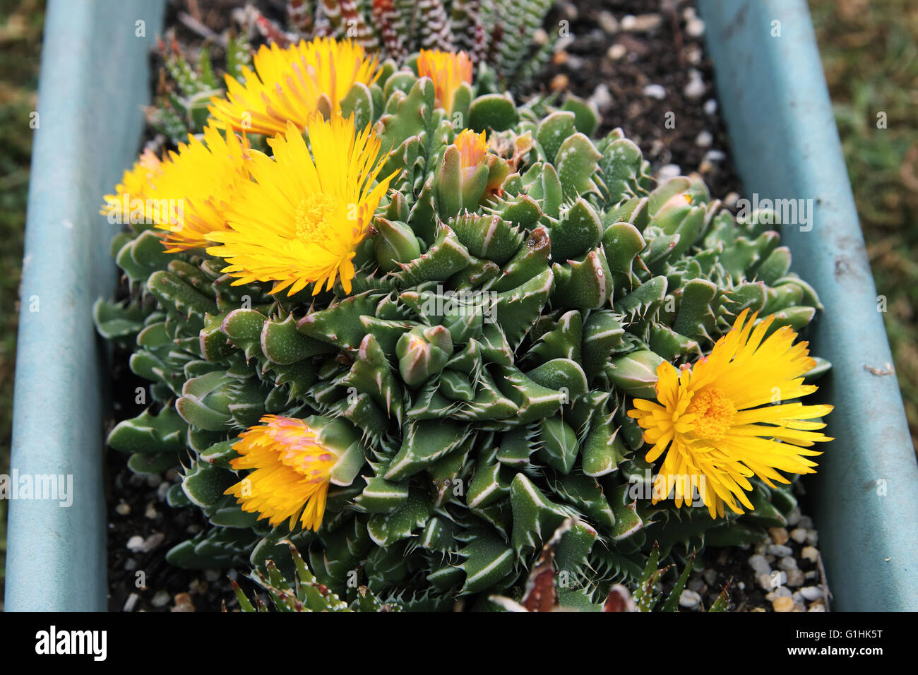 Tiger jaws succulent plant or known as Faucaria tigrina with yellow     Tiger jaws succulent plant or known as Faucaria tigrina with yellow flowers