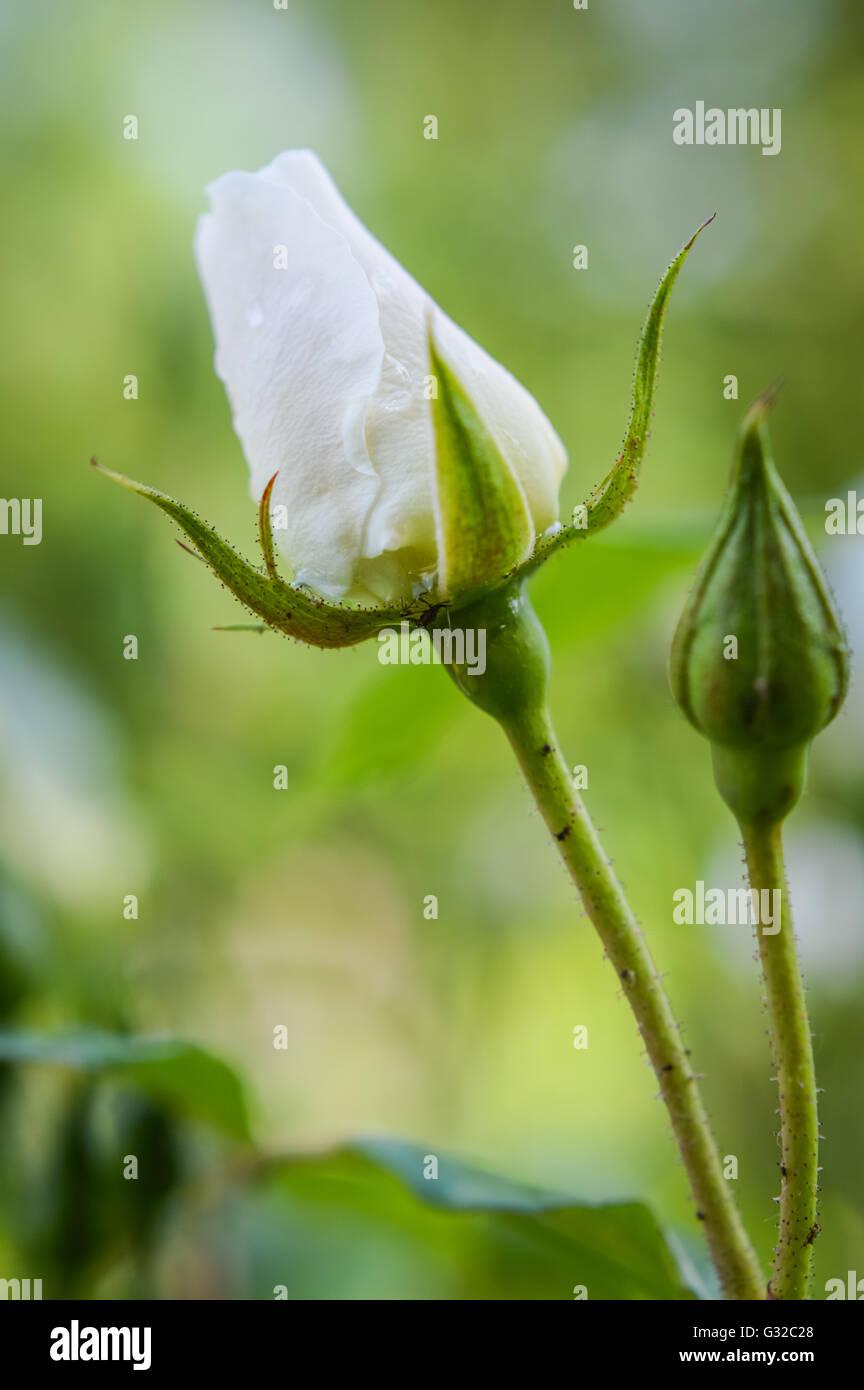 Elegant White Rose Buds With Raindrops Stock Photo
