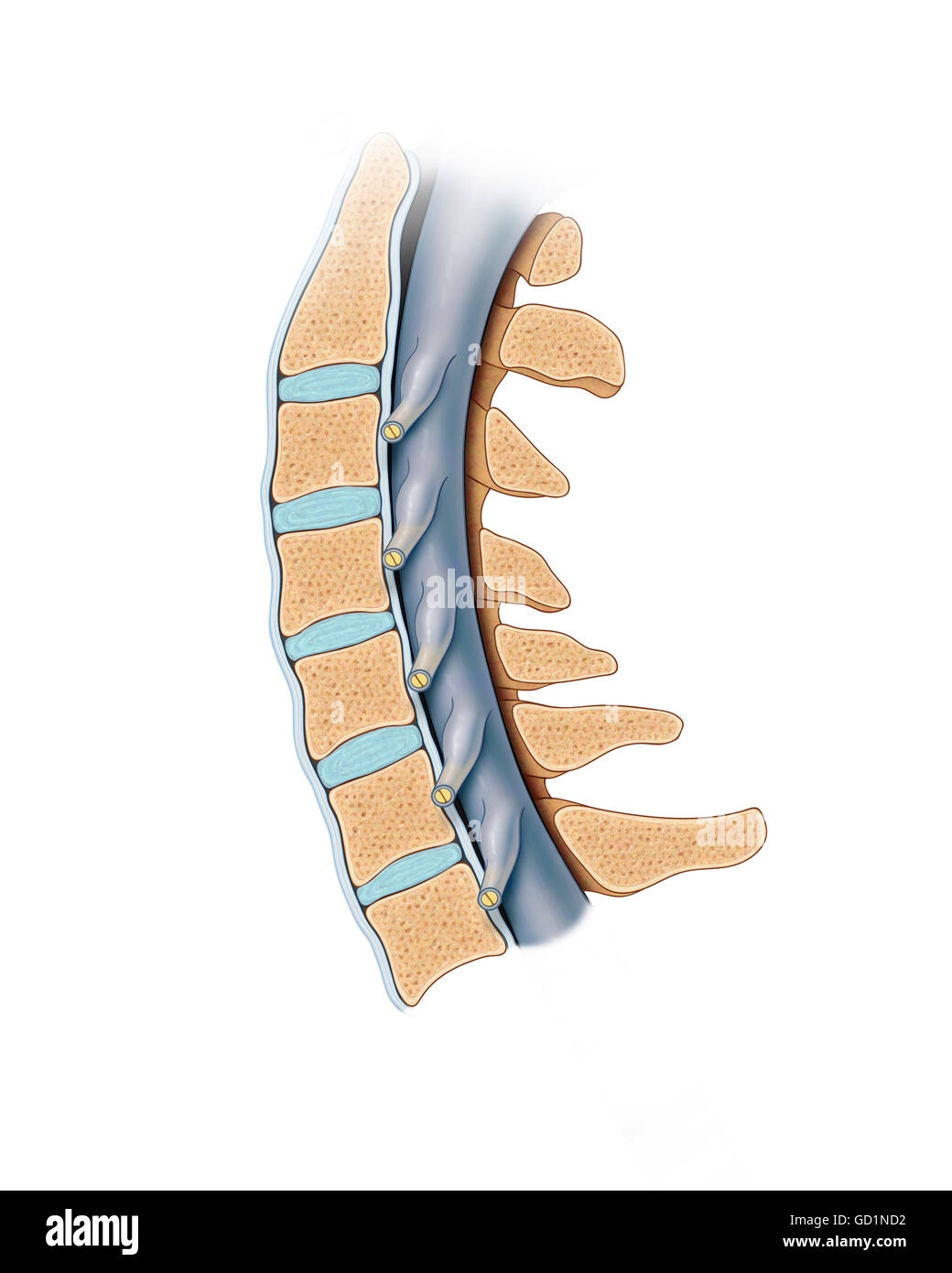 Normal Cervical Spinal Vertebrae And Cord In Cross Section