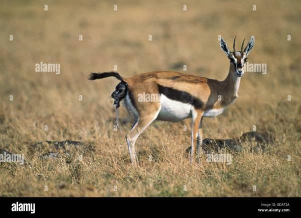 Thomson's Gazelle, gazella thomsoni, Female giving Birth, Masai Mara Stock Photo: 111491138 - Alamy