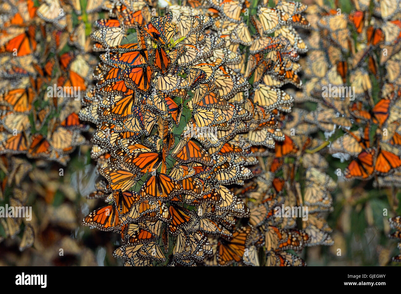 Monarch Danaus Plexippus Winter Colony Roosting In