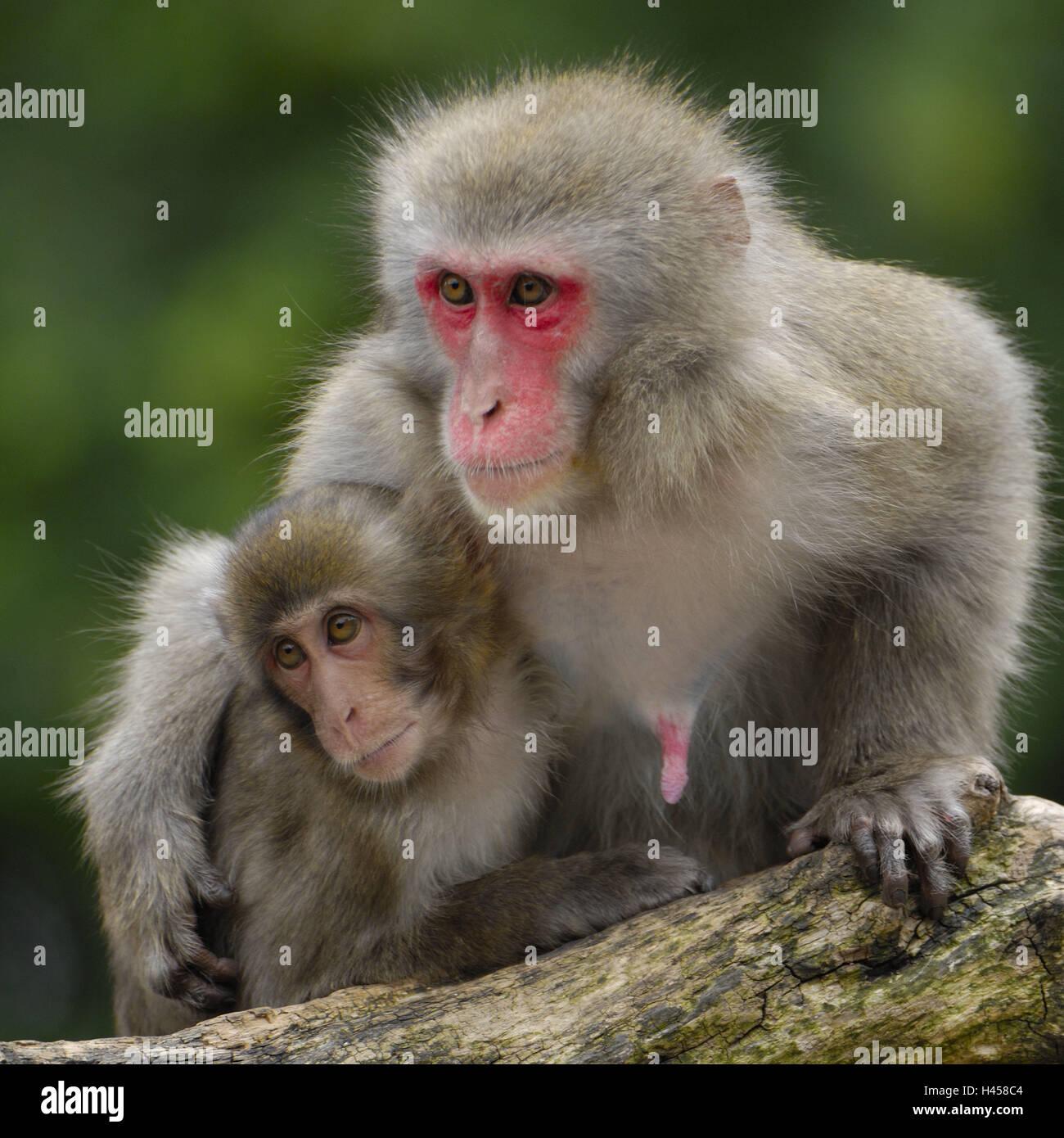 Japanese Macaque Makaka Fuscata Mother Animal Young Animal Stock Photo Royalty Free Image