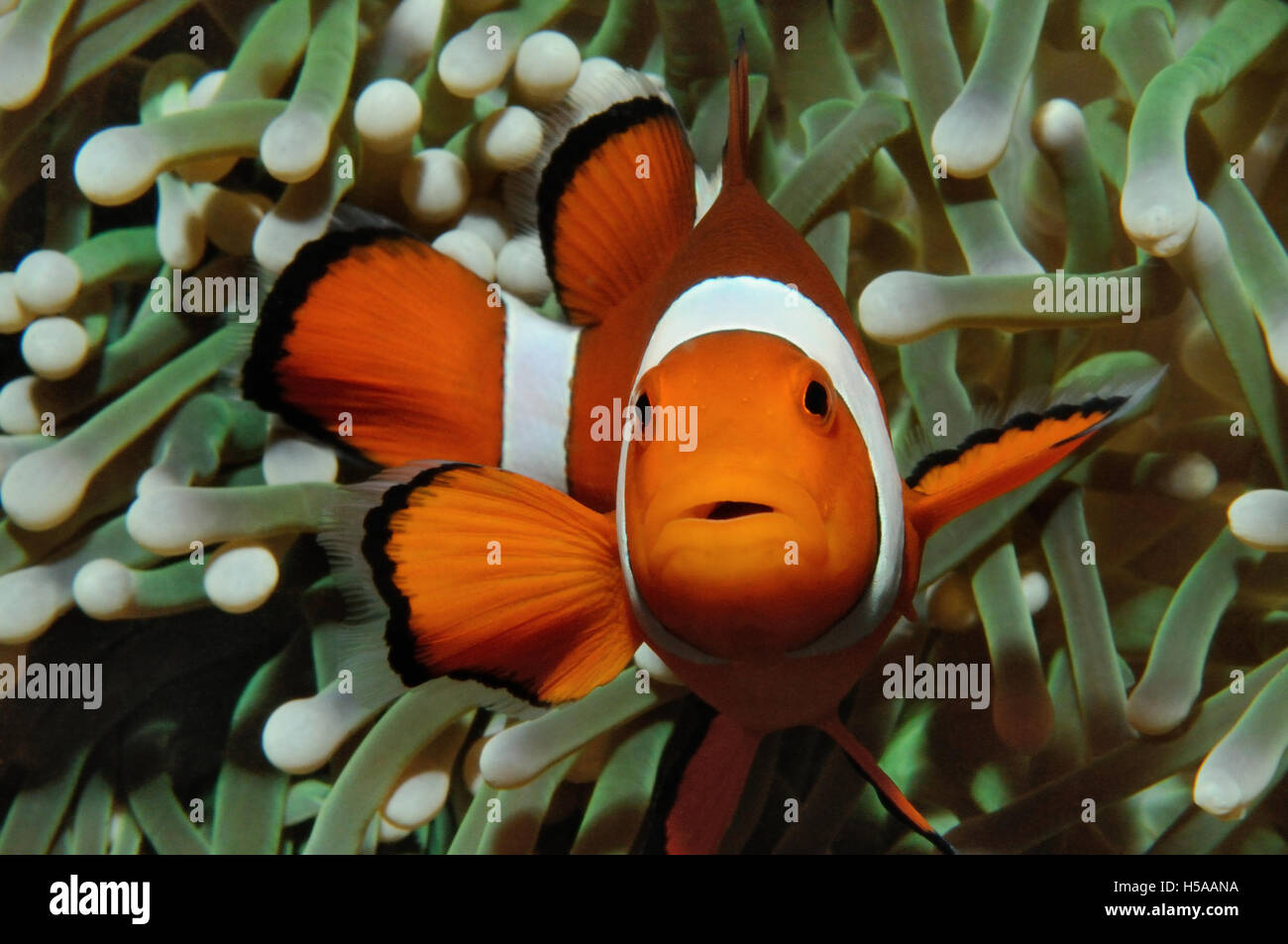 Amphiprion Western Clownfish Ocellaris Clownfish False