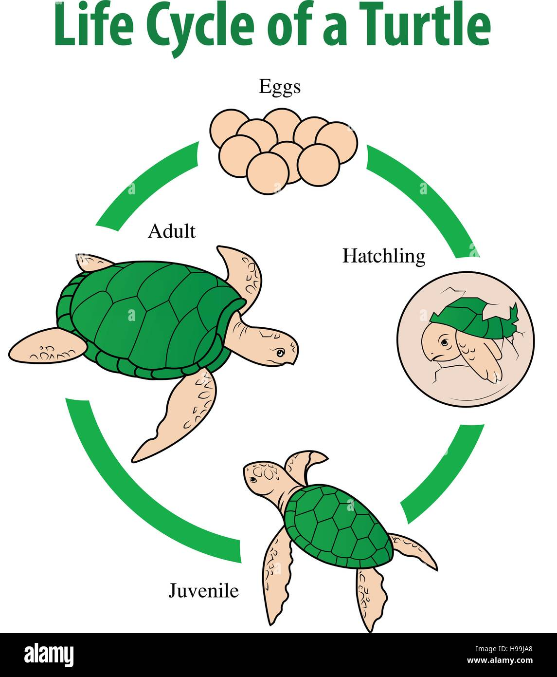 Vector Illustration Of Turtle Life Cycle Stock Vector Art