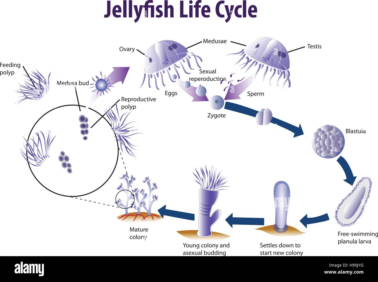 Vector Illustration Of Jelly Fish Life Cycle Stock Vector