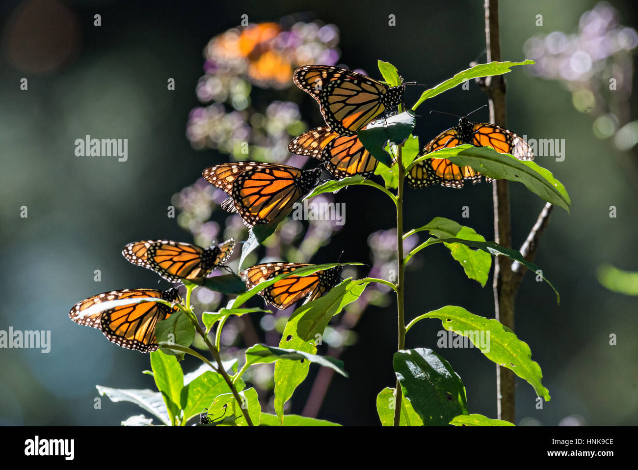 Monarch Butterflies Sun On A Tree At The El Capulin