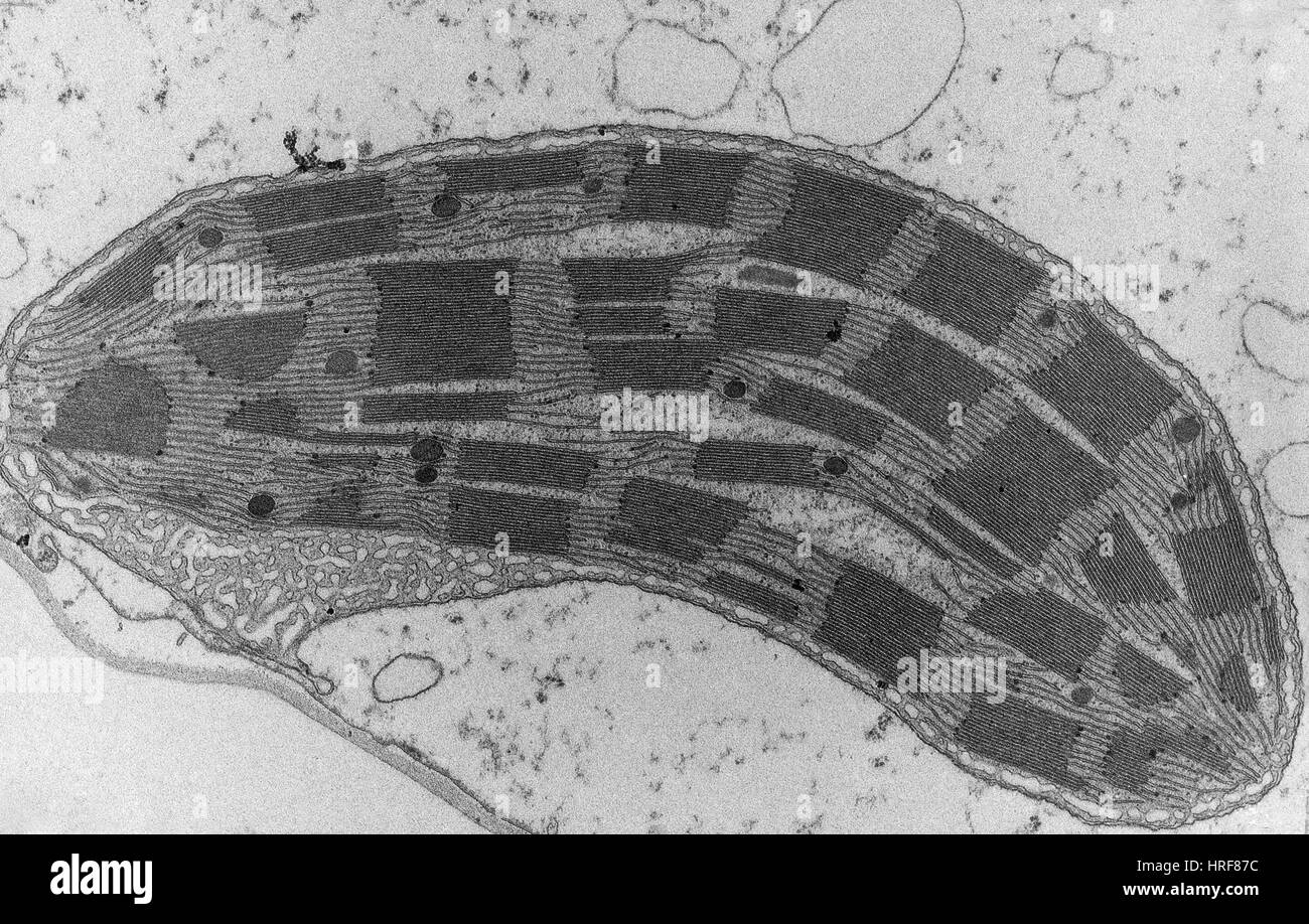 Corn Leaf Mesophyll With Chloroplast Tem Stock Photo