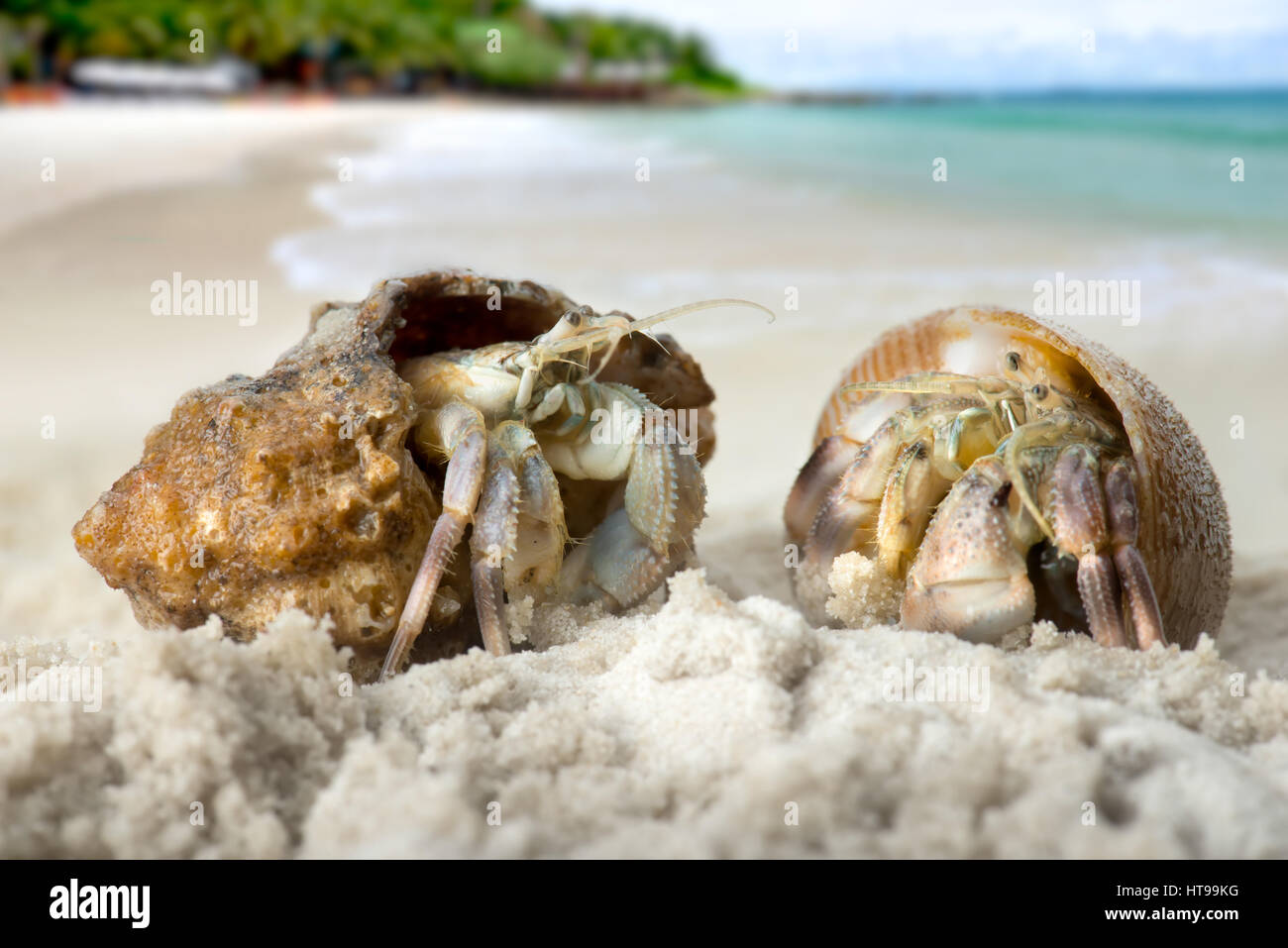 https www alamy com stock photo life hermit crab on the beach in nature tropical sea in thailand photo 135429492 html