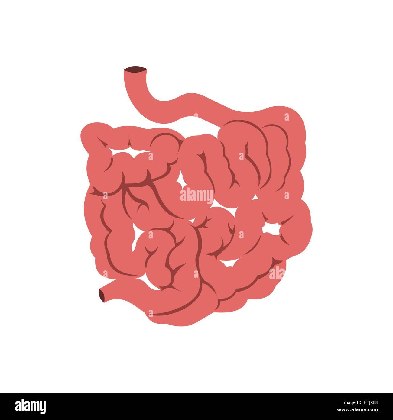 Digestive Small Large Intestine Drawing Stock Photos