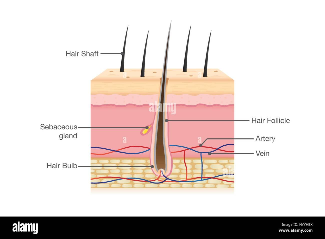 Human Hair Anatomy Stock Vector Art Amp Illustration Vector Image