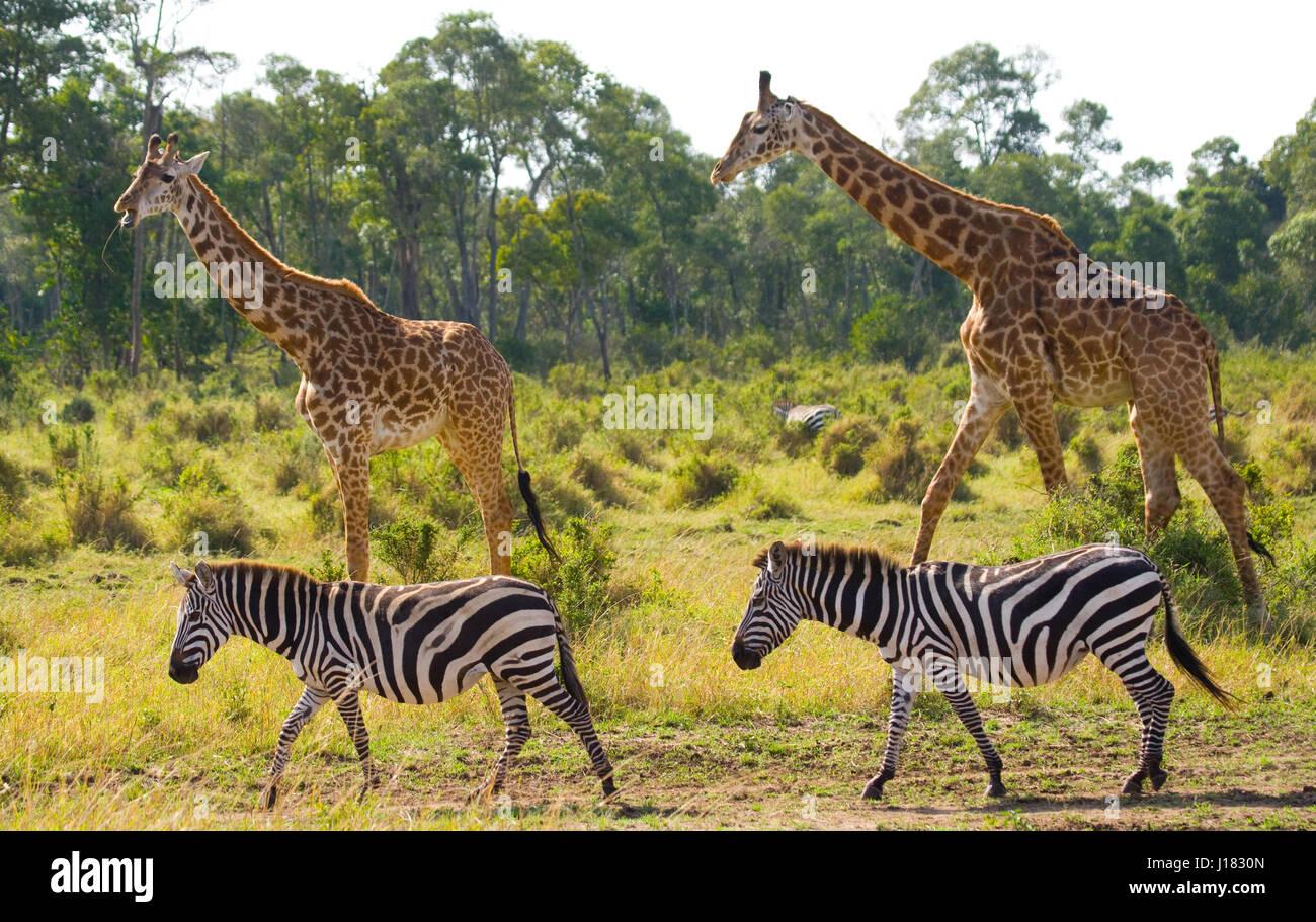 Two Giraffes In Savannah With Zebras Kenya Tanzania