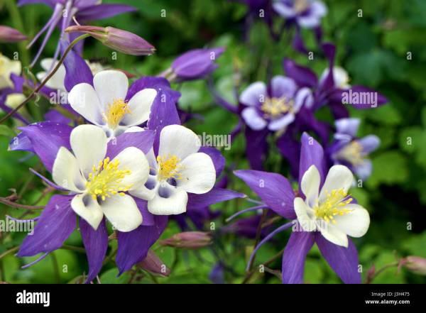 Lavender and white Rocky Mountain columbine (Aquilegia ...