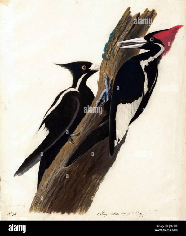 welcome ivorybilled woodpecker - HD