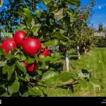 Rows Of Honeycrisp Apple Trees In A Commercial Apple Orchard Stock Photo Alamy