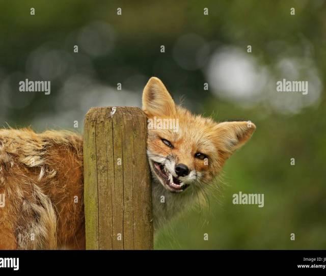 Zoo Predator Fox Wildlife Park Wild Animal Vixen Wild Skin Tame Fox